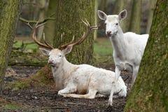 白色马鹿或白色雄鹿 库存照片