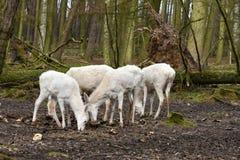 白色马鹿或白色hinds 免版税图库摄影