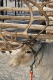 白色驯鹿 库存图片