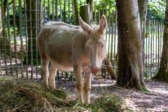 白色驴在动物封入物 免版税库存照片