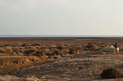 白色驴观看的骆驼牧群的流浪的人在Judean沙漠,接近Qumran国立公园,以色列 图库摄影