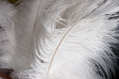 白色驼鸟羽毛 免版税库存照片