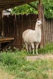 白色骆马在围场 库存图片
