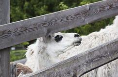 白色骆马(喇嘛glama)在奥地利 免版税库存图片