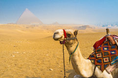 白色骆驼 免版税图库摄影