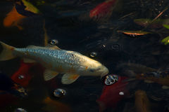 白色鲤鱼鱼 库存图片