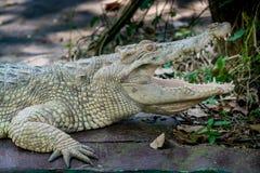 白色鳄鱼在动物园里 免版税库存照片
