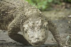 白色鳄鱼/白变种暹罗鳄鱼 免版税图库摄影