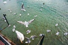 白色鸟和天鹅在湖饲料飞行 免版税库存图片