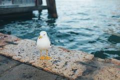 白色鸟海鸥在米兰,意大利 免版税库存图片