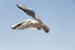 白色鸟海鸥 免版税库存照片