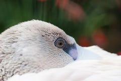白色鸟眼睛 免版税库存照片