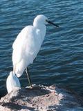 白色鸟蓝色海洋 库存照片