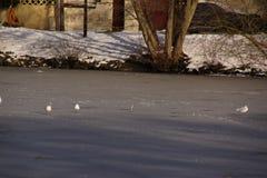 白色鸟-喑哑的池塘在市Elancourt在法国 免版税库存照片