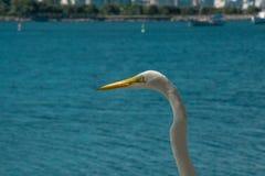 白色鸟-苍鹭-在一个夏天海滩情景在里约de Janeir 库存照片