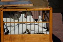 白色鸠在一只木笼子坐 他们中的一个看看照相机 免版税库存图片