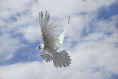 白色鸠飞行 免版税库存照片