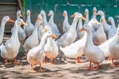 白色鸭子在农场 库存照片