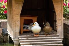 白色鸭子在房子里 图库摄影