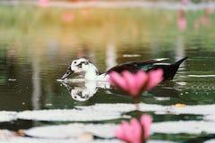 白色鸭子在有莲花桃红色的一个池塘 免版税库存图片