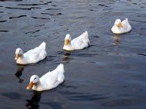 白色鸭子在池塘,曼谷,泰国 库存图片