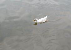 白色鸭子在池塘 免版税图库摄影