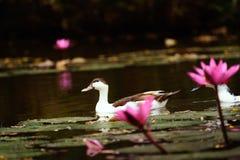 白色鸭子在池塘 库存照片