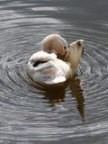 白色鸭子在水中 免版税库存图片