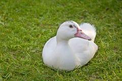 白色鸭子坐草 免版税库存照片