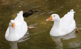 白色鸭子夫妇  免版税库存图片