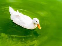 白色鸭子游泳在池塘 免版税库存图片