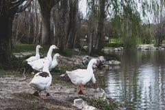 白色鸭子的帮会在湖的岸的 免版税图库摄影