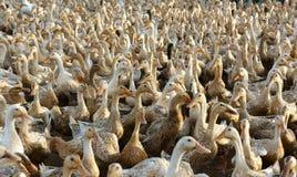 白色鸭子群  免版税库存照片