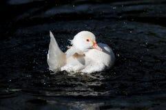白色鸭子飞溅 图库摄影