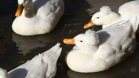 白色鸭子紧的射击在池塘 股票视频