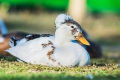 白色鸭子3 库存图片