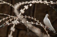 白色鸽子剃刀铁丝网 库存照片