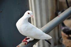 白色鸽子或发行鸠 库存图片