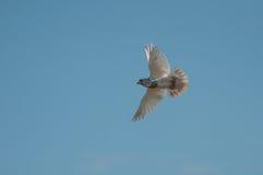 白色鸽子飞行和蓝天 免版税库存图片