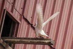 白色鸽子,着陆, 免版税库存照片