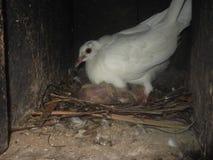 白色鸽子 免版税库存照片