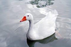 白色鹅在夏天中午的河游泳 免版税库存照片