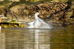 白色鹅在池塘游泳 库存照片