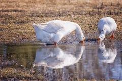 白色鹅在池塘附近的牧场地在村庄 库存照片