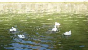 白色鹅在Valsanzibio帕多瓦庭院里  股票视频