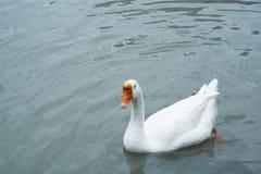 白色鹅游泳在池塘 免版税库存图片