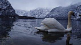 白色鹅湖 免版税库存图片