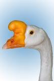白色鹅男性 库存图片