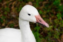 白色鹅的头 库存图片