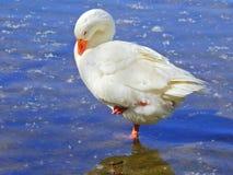 白色鹅睡觉 免版税图库摄影